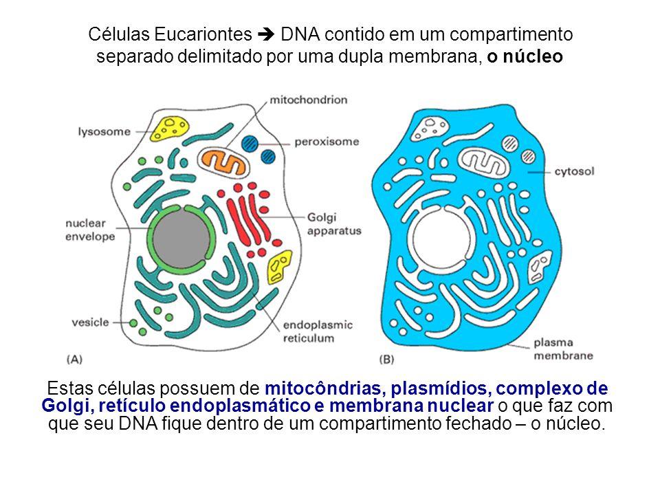 Células Eucariontes DNA contido em um compartimento separado delimitado por uma dupla membrana, o núcleo Estas células possuem de mitocôndrias, plasmí