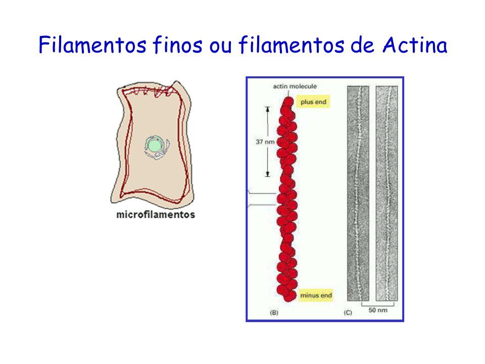 Filamentos finos ou filamentos de Actina