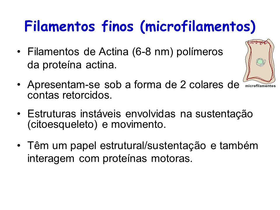 Filamentos finos (microfilamentos) Filamentos de Actina (6-8 nm) polímeros da proteína actina. Apresentam-se sob a forma de 2 colares de contas retorc