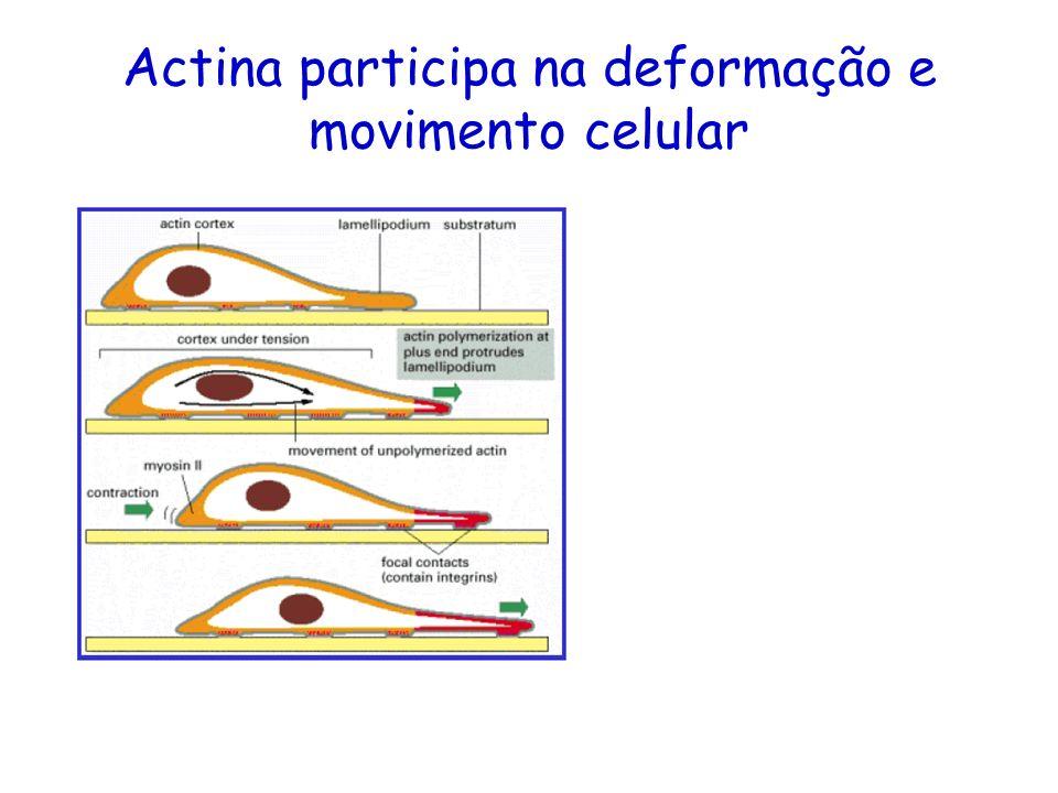 Actina participa na deformação e movimento celular