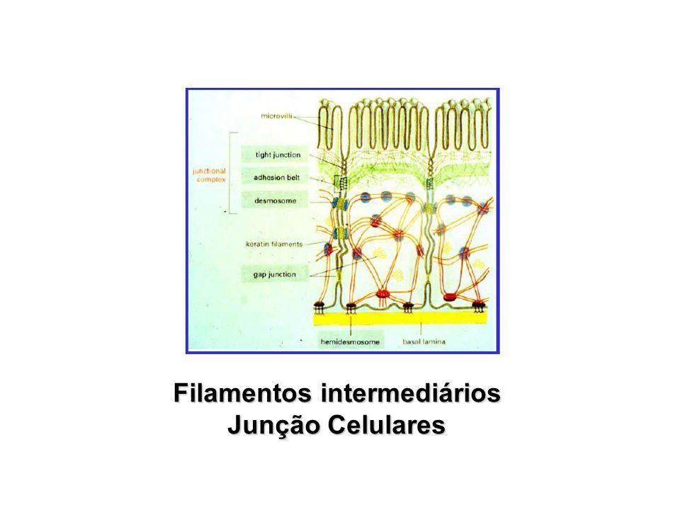 Filamentos intermediários Junção Celulares