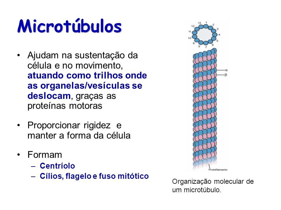 Microtúbulos Ajudam na sustentação da célula e no movimento, atuando como trilhos onde as organelas/vesículas se deslocam, graças as proteínas motoras
