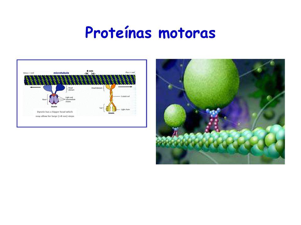 Proteínas motoras