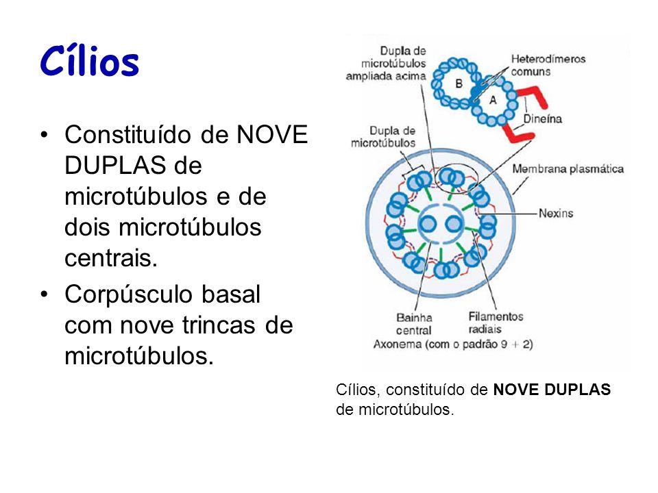 Cílios Constituído de NOVE DUPLAS de microtúbulos e de dois microtúbulos centrais. Corpúsculo basal com nove trincas de microtúbulos. Cílios, constitu
