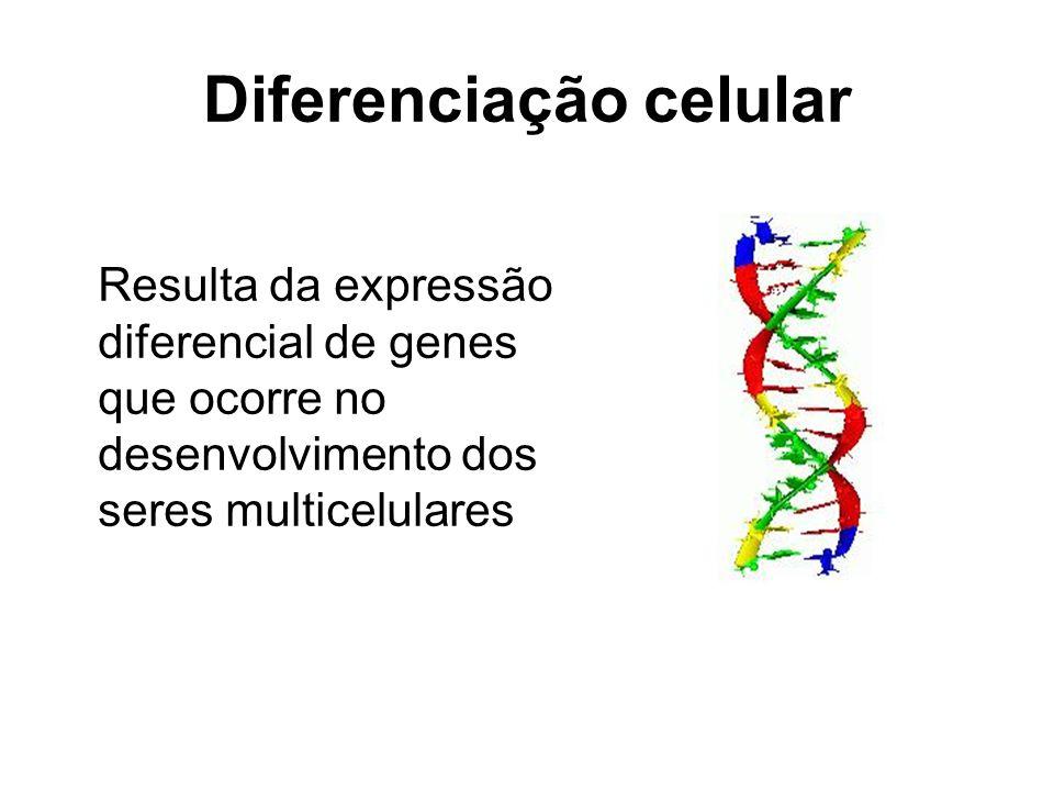 Diferenciação celular Resulta da expressão diferencial de genes que ocorre no desenvolvimento dos seres multicelulares
