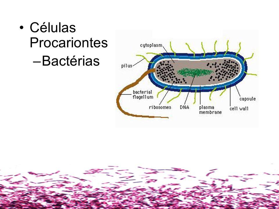Células Procariontes Possuem DNA e RNA disperso no citosol na forma de um anel não-associado a proteínas Estas células não possuem mitocôndrias, complexo de Golgi, retículo endoplasmático e membrana nuclear A este grupo pertencem: –Bactérias –Cianófilos (algas cianofíceas, algas azuis ou Cyanobactéria)
