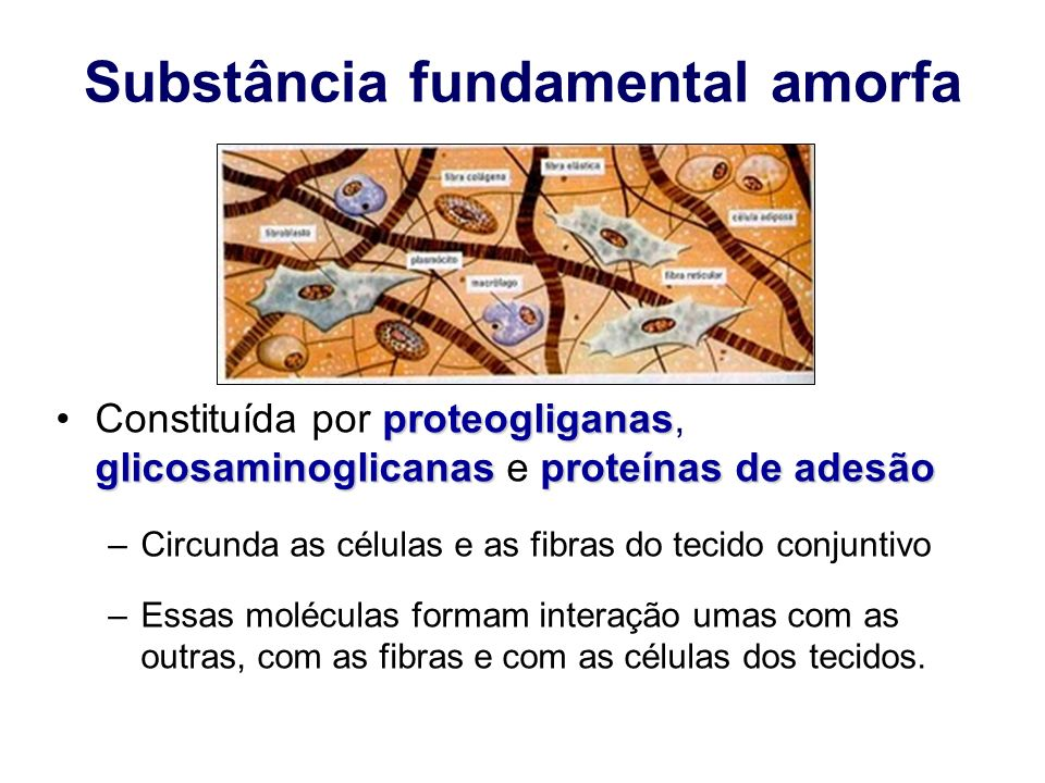 Substância fundamental amorfa proteogliganas glicosaminoglicanasproteínas de adesãoConstituída por proteogliganas, glicosaminoglicanas e proteínas de adesão –Circunda as células e as fibras do tecido conjuntivo –Essas moléculas formam interação umas com as outras, com as fibras e com as células dos tecidos.