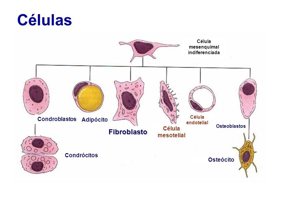 Células Fibroblasto Célula mesotelial Adipócito Condroblastos Condrócitos Osteócito Célula endotelial Osteoblastos Célula mesenquimal indiferenciada