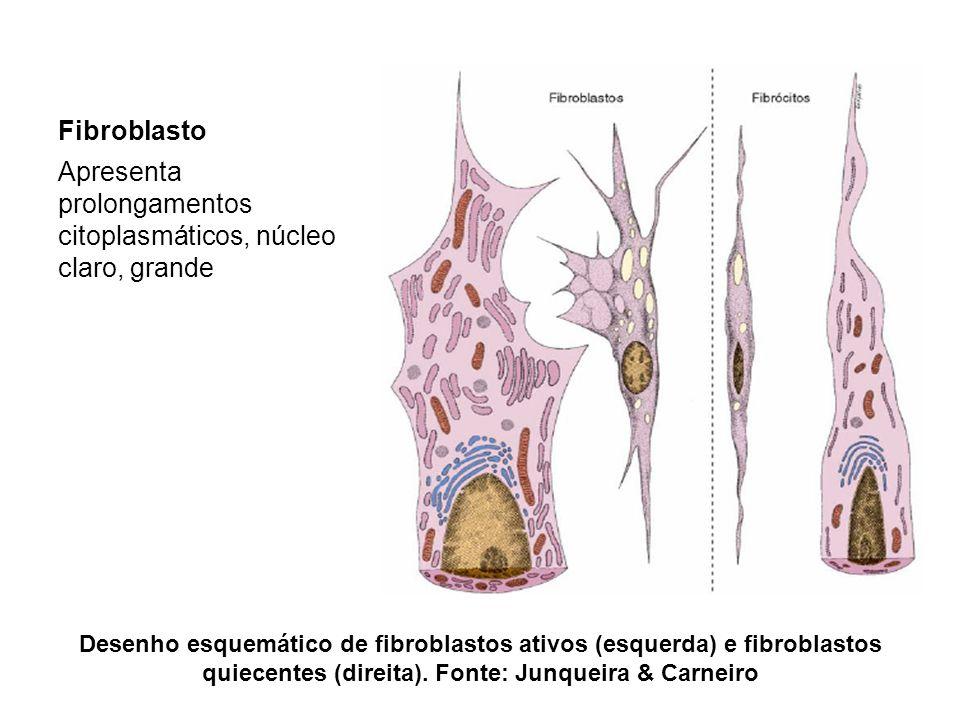 Desenho esquemático de fibroblastos ativos (esquerda) e fibroblastos quiecentes (direita).