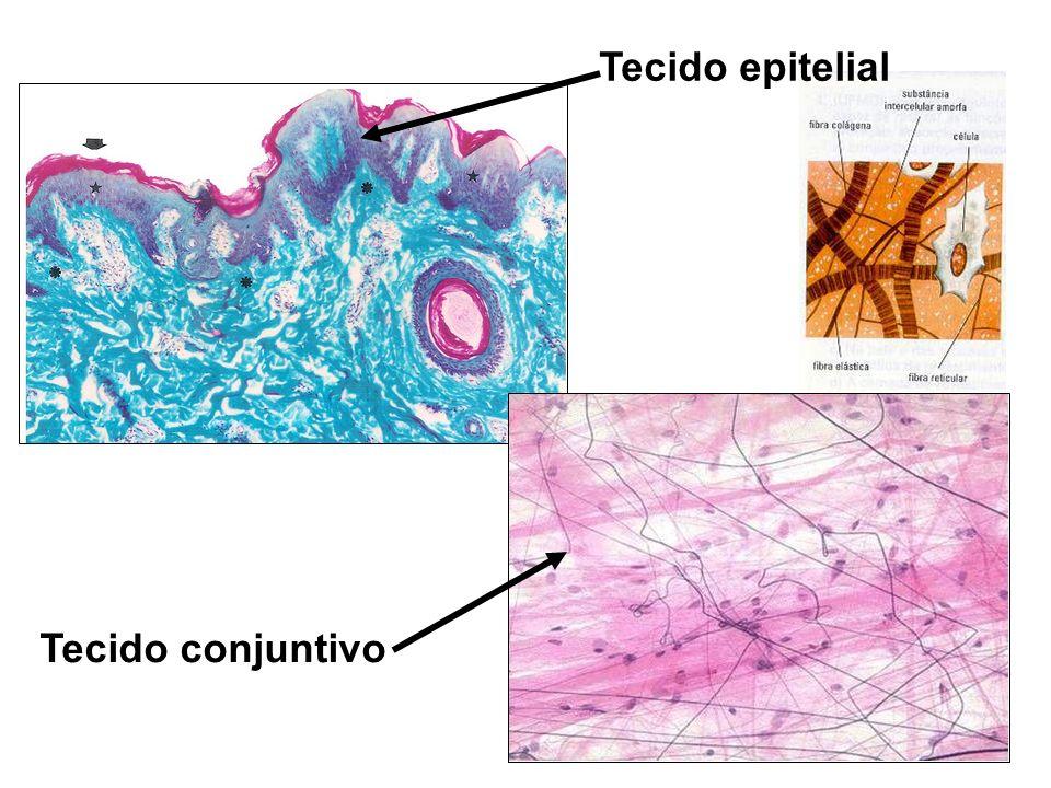 Tecido epitelial Tecido conjuntivo