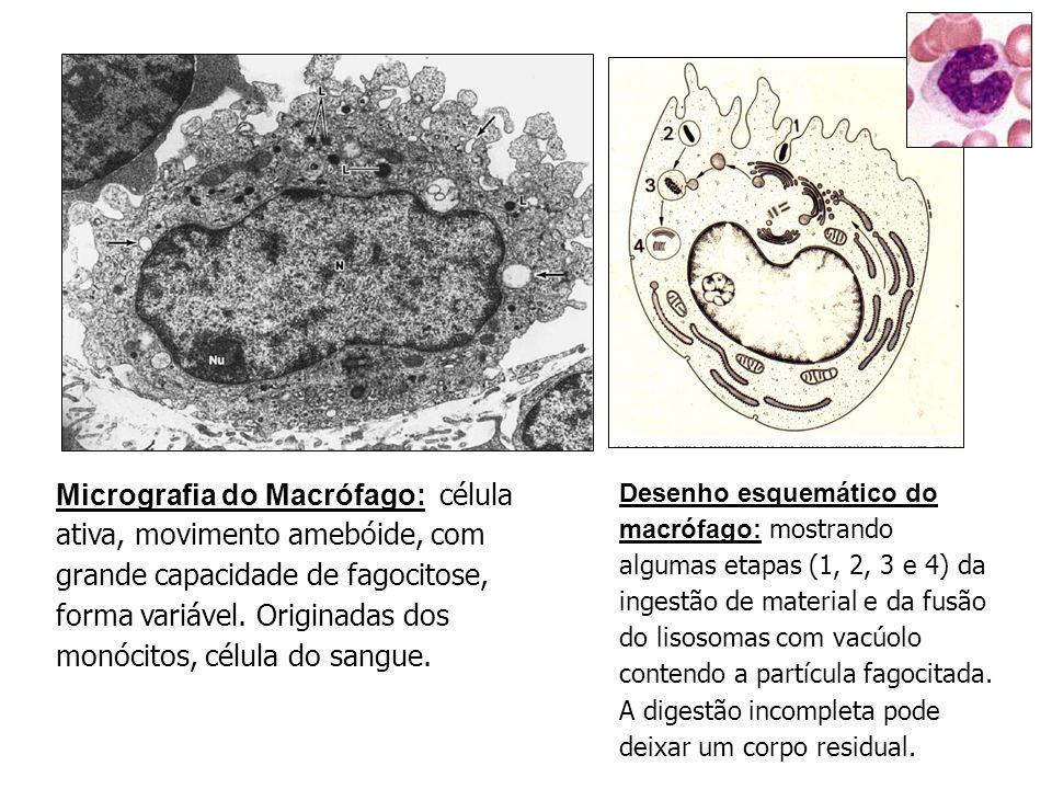 Desenho esquemático do macrófago: mostrando algumas etapas (1, 2, 3 e 4) da ingestão de material e da fusão do lisosomas com vacúolo contendo a partícula fagocitada.