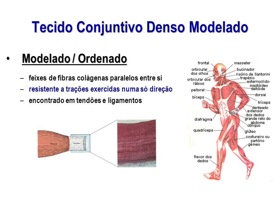 Tecido Conjuntivo Denso Modelado Modelado / Ordenado Modelado / Ordenado – feixes de fibras colágenas paralelos entre si – resistente a trações exercidas numa só direção – encontrado em tendões e ligamentos