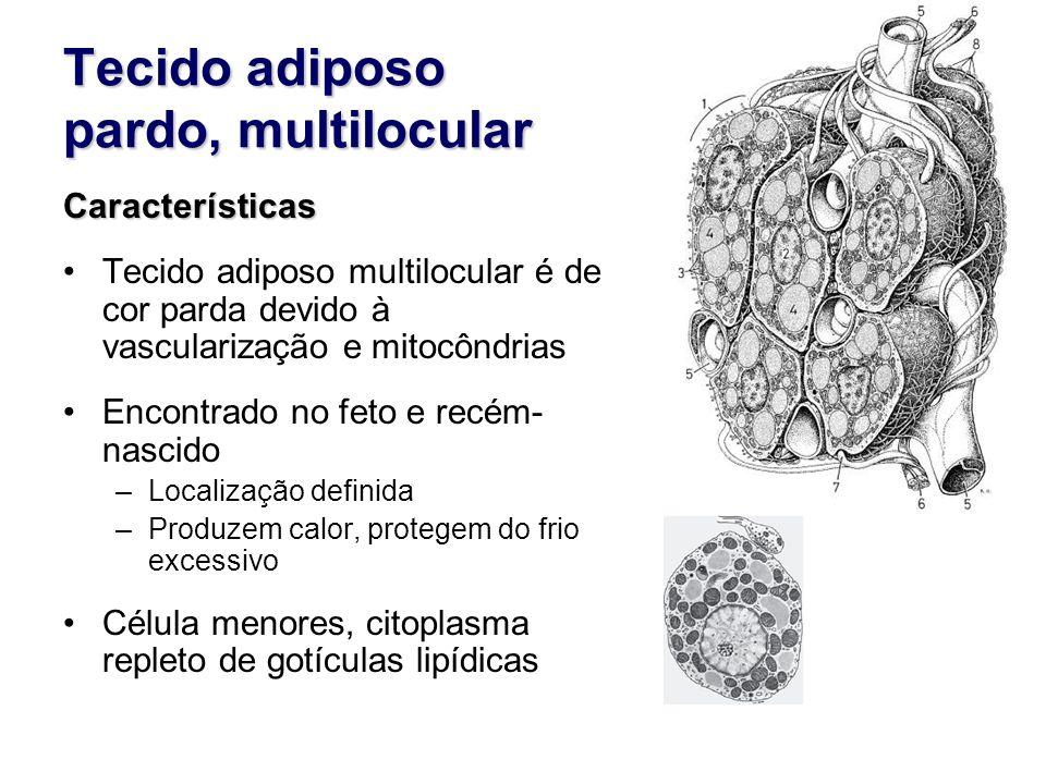 Tecido adiposo pardo, multilocular Características Tecido adiposo multilocular é de cor parda devido à vascularização e mitocôndrias Encontrado no feto e recém- nascido –Localização definida –Produzem calor, protegem do frio excessivo Célula menores, citoplasma repleto de gotículas lipídicas
