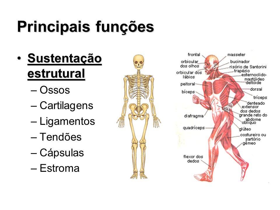 Principais funções Sustentação estruturalSustentação estrutural –Ossos –Cartilagens –Ligamentos –Tendões –Cápsulas –Estroma
