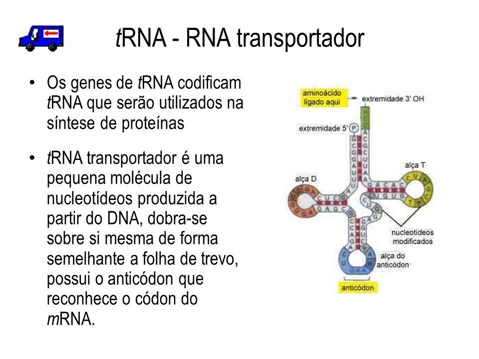 t RNA - RNA transportador Os genes de t RNA codificam t RNA que serão utilizados na síntese de proteínas t RNA transportador é uma pequena molécula de