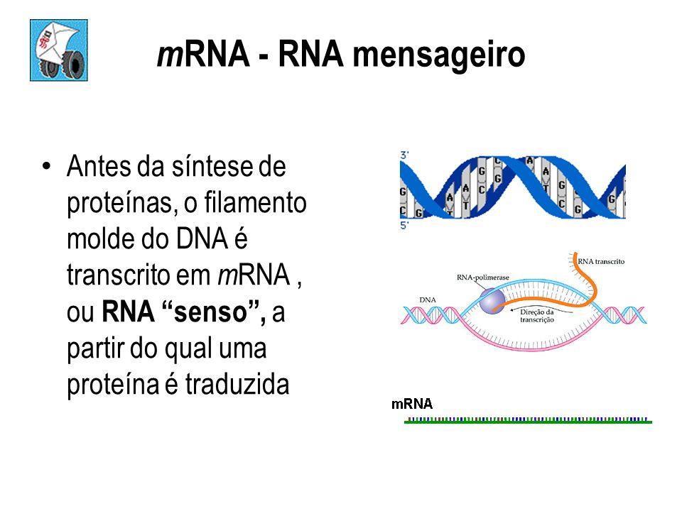 m RNA - RNA mensageiro Antes da síntese de proteínas, o filamento molde do DNA é transcrito em m RNA, ou RNA senso, a partir do qual uma proteína é tr