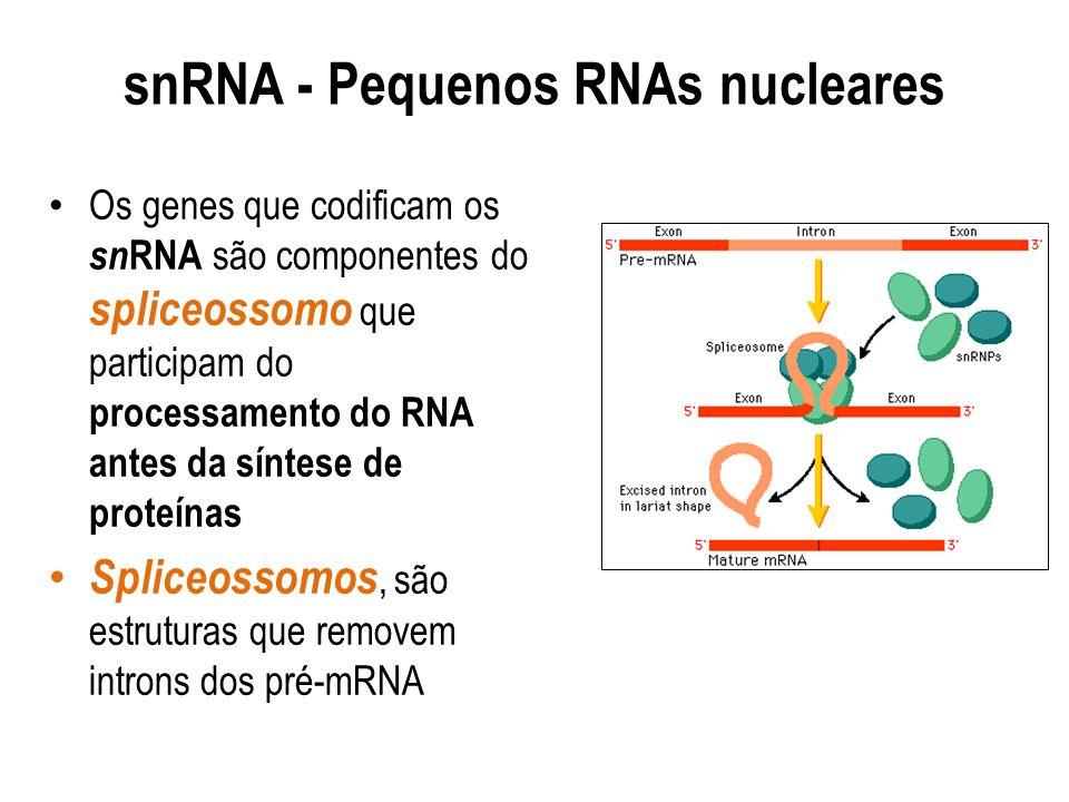 snRNA - Pequenos RNAs nucleares Os genes que codificam os sn RNA são componentes do spliceossomo que participam do processamento do RNA antes da sínte