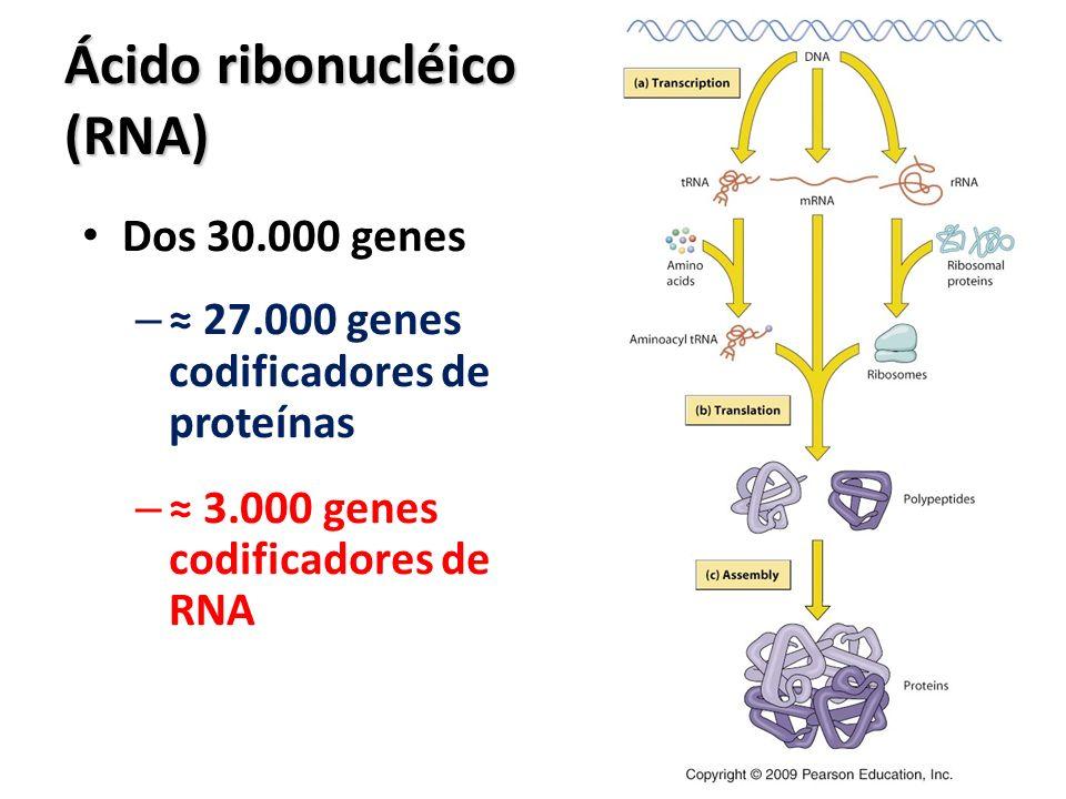 Ácido ribonucléico (RNA) Dos 30.000 genes – 27.000 genes codificadores de proteínas – 3.000 genes codificadores de RNA