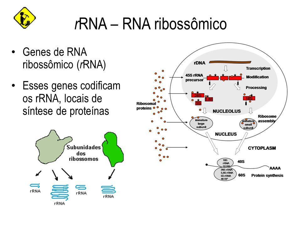 r RNA – RNA ribossômico Um conjunto de genes de r RNA localizados no nucléolo é transcrito pela RNA polimerase I para formar o RNA Esse conjunto de genes está localizado nos cromossomos 13, 14, 15, 21 e 22 (braço curto) Outro conjunto de genes r RNA localizados fora do nucléolo é transcrito pela RNA polimerase II e forma outro r RNA