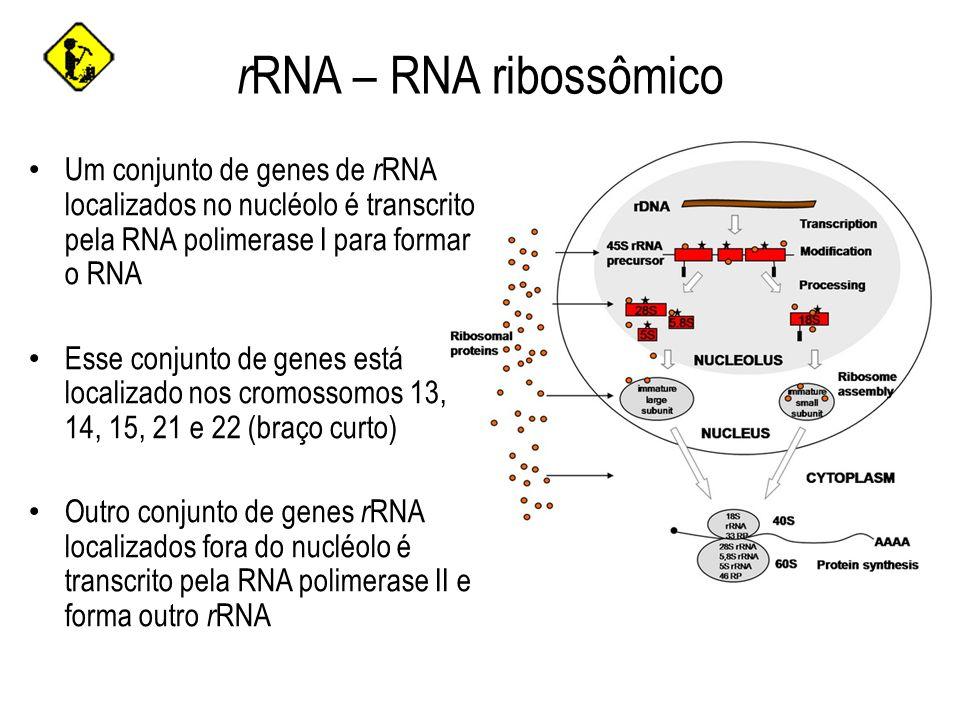 r RNA – RNA ribossômico Um conjunto de genes de r RNA localizados no nucléolo é transcrito pela RNA polimerase I para formar o RNA Esse conjunto de ge