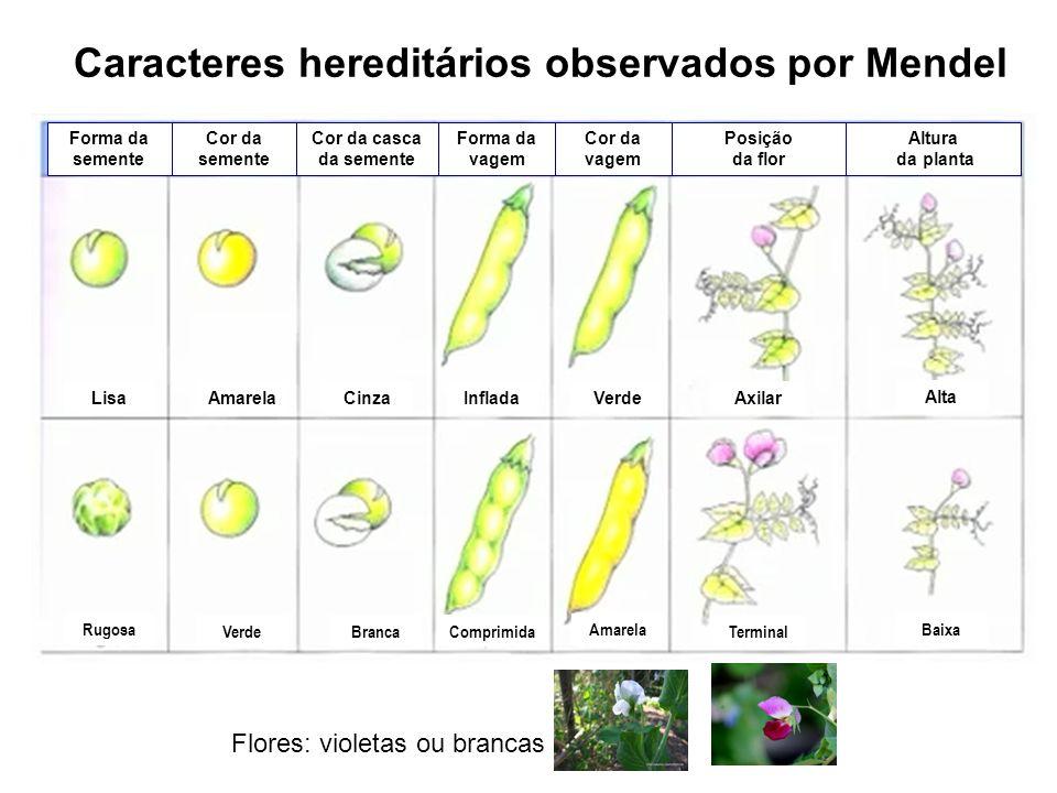 Caracteres hereditários observados por Mendel Lisa Rugosa Amarela Verde Cinza Branca Inflada Comprimida Verde Amarela Axilar Terminal Alta Baixa Forma
