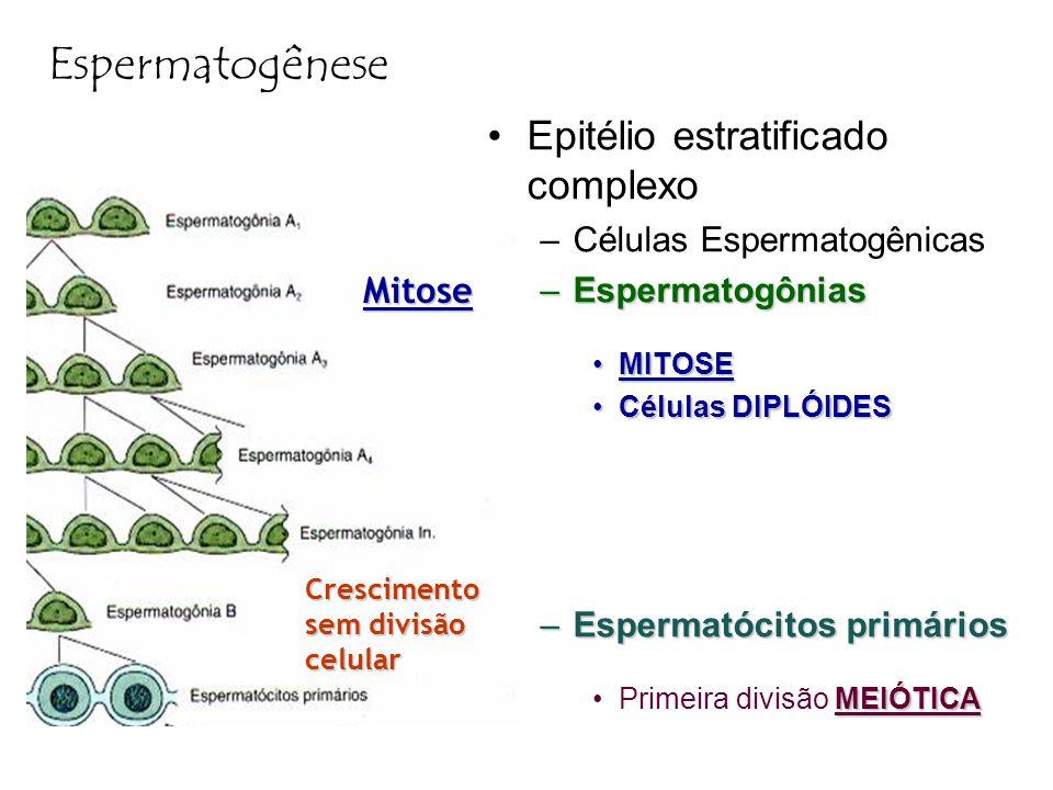 Espermatogênese Epitélio estratificado complexo –Células Espermatogênicas –Espermatogônias MITOSEMITOSE Células DIPLÓIDESCélulas DIPLÓIDES –Espermatóc