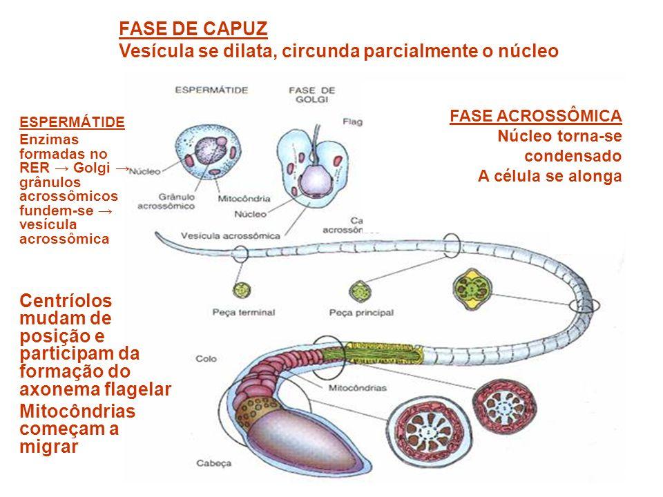 ESPERMÁTIDE Enzimas formadas no RER Golgi grânulos acrossômicos fundem-se vesícula acrossômica Centríolos mudam de posição e participam da formação do