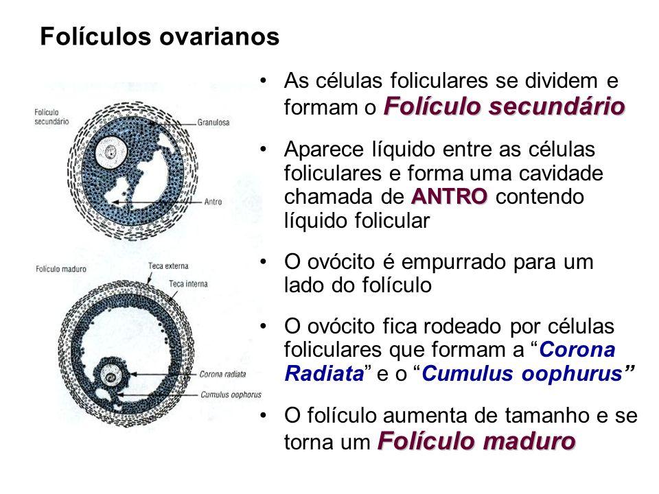Folículos ovarianos Folículo secundárioAs células foliculares se dividem e formam o Folículo secundário ANTROAparece líquido entre as células folicula