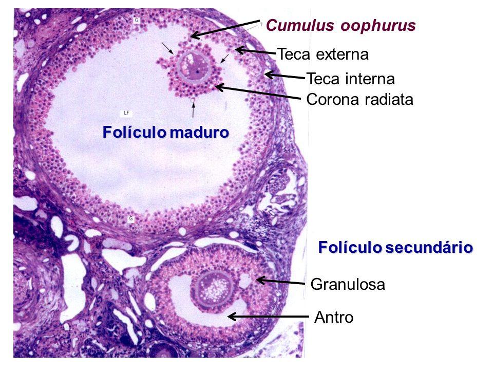 Teca externa Teca interna Corona radiata Cumulus oophurus Granulosa Antro Folículo secundário Folículo maduro