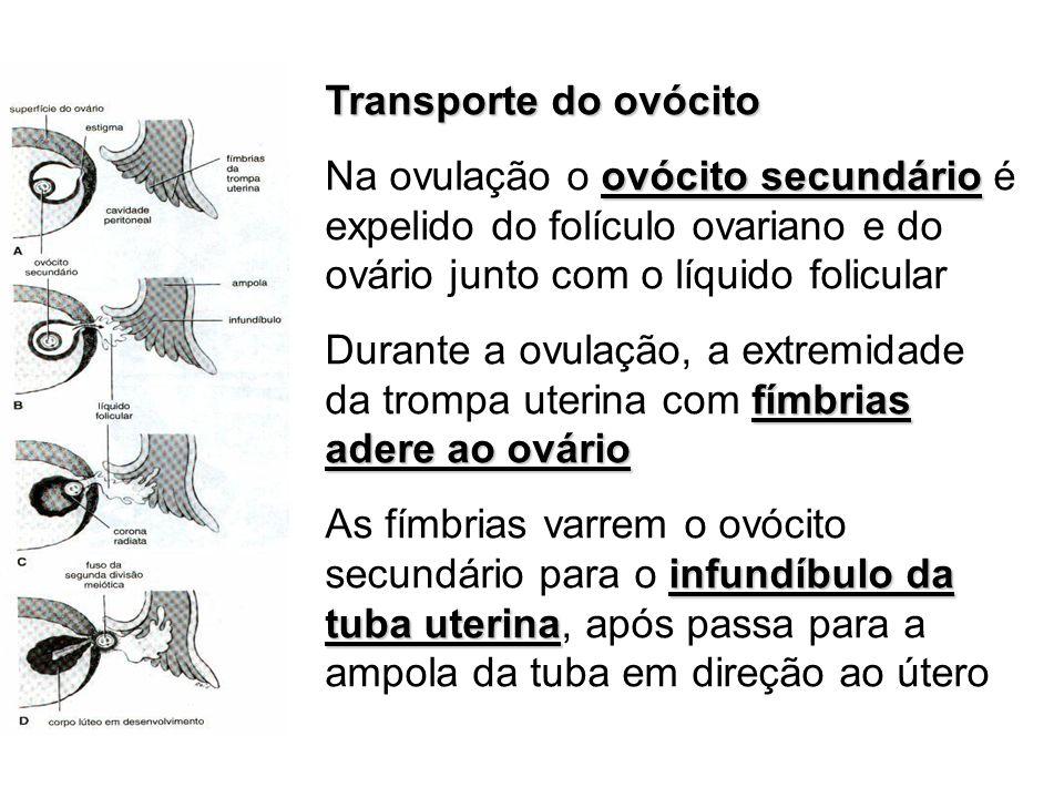 Transporte do ovócito ovócito secundário Na ovulação o ovócito secundário é expelido do folículo ovariano e do ovário junto com o líquido folicular fí