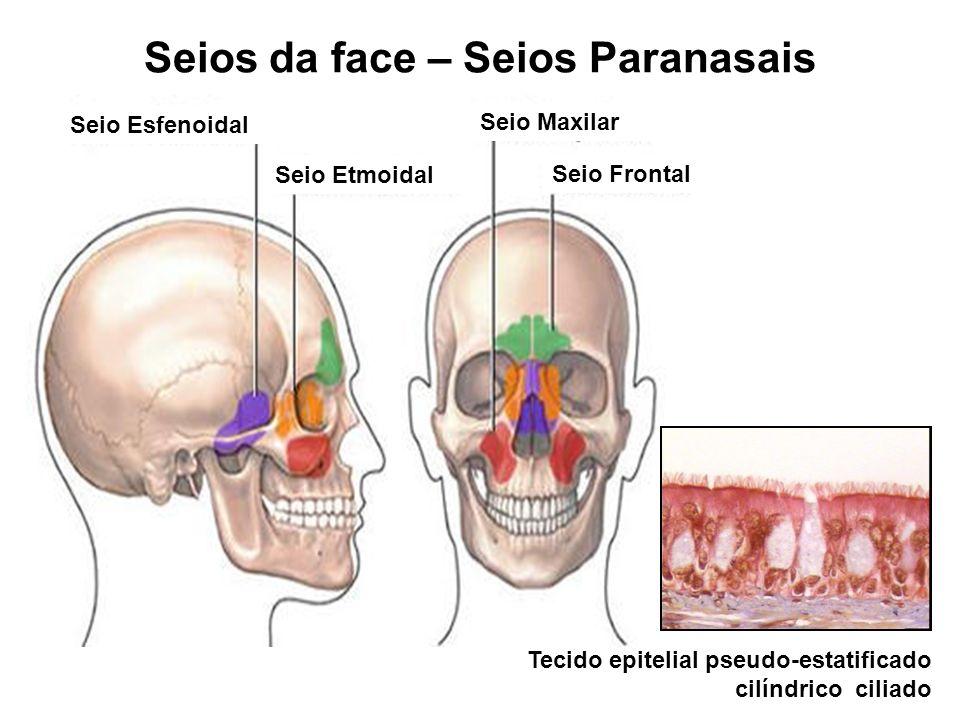Seio Esfenoidal Seio Maxilar Seio Frontal Seio Etmoidal Seios da face – Seios Paranasais Tecido epitelial pseudo-estatificado cilíndrico ciliado