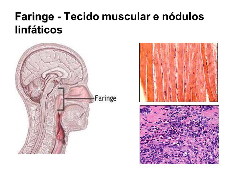 Faringe - Faringe - Tecido muscular e nódulos linfáticos