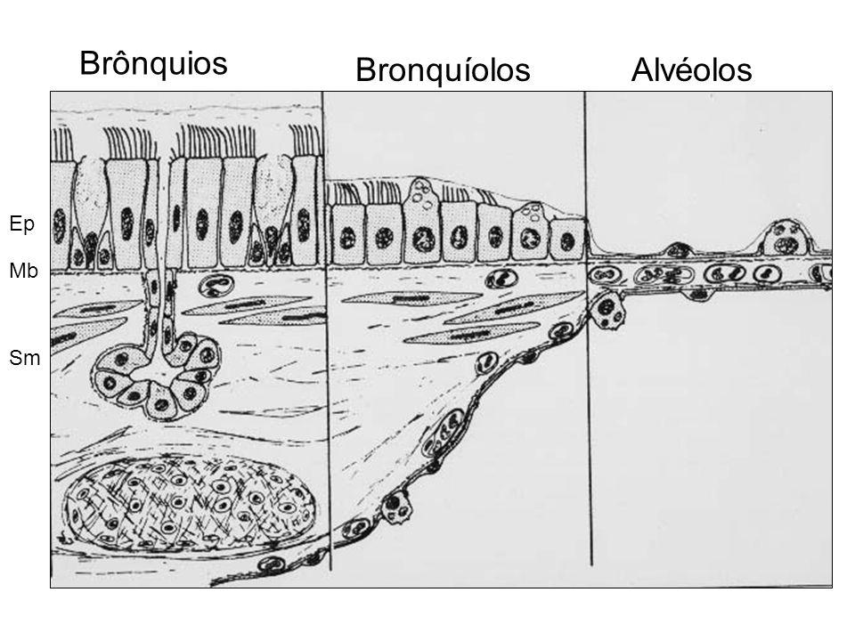 Brônquios BronquíolosAlvéolos Ep Mb Sm