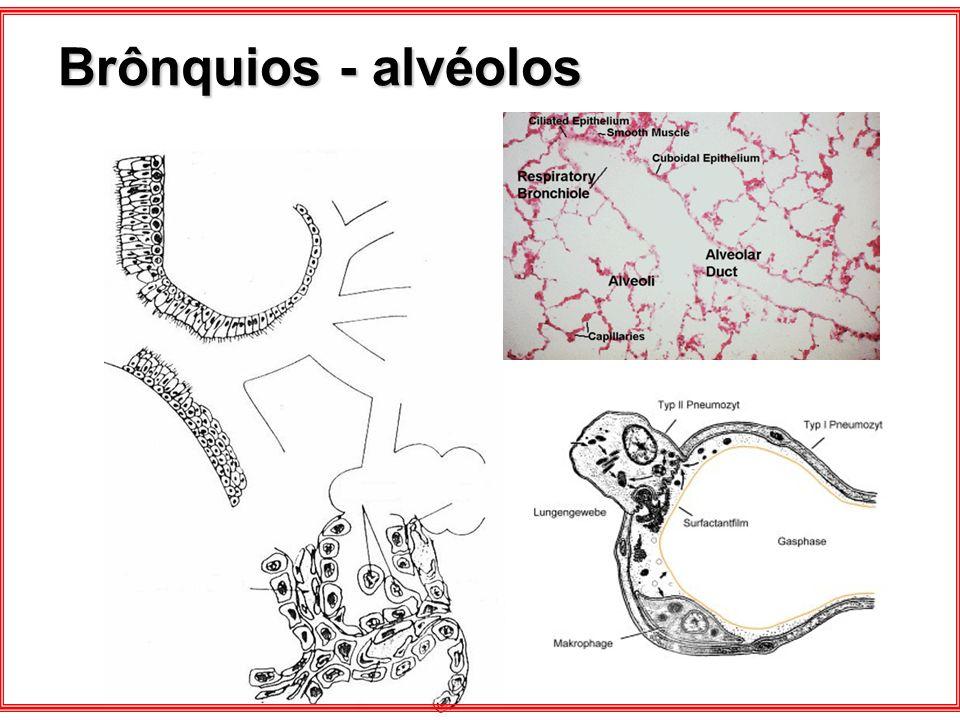 Brônquios - alvéolos