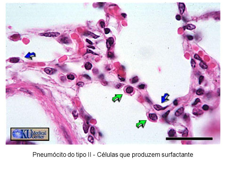 Pneumócito do tipo II - Células que produzem surfactante