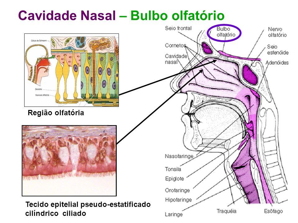 Cavidade Nasal – Bulbo olfatório Região olfatória Tecido epitelial pseudo-estatificado cilíndrico ciliado