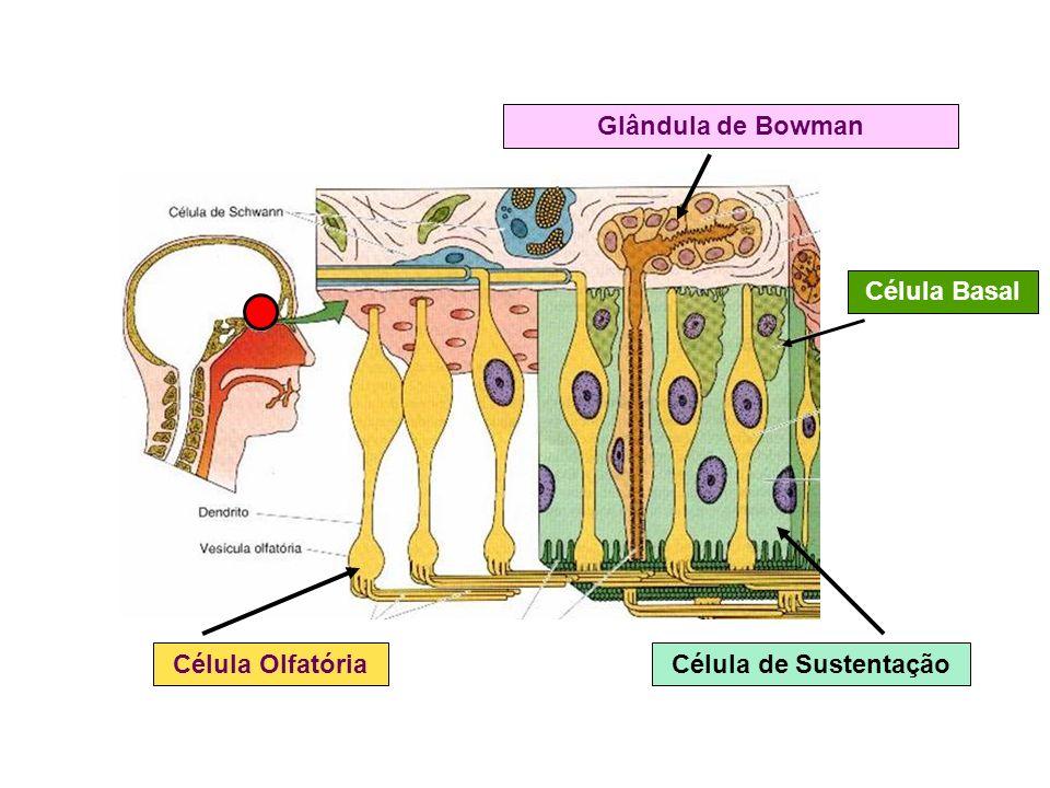 Glândula de Bowman Célula de Sustentação Célula Basal Célula Olfatória