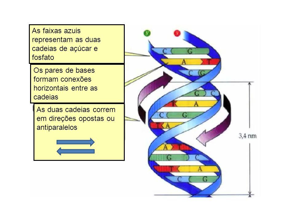 As faixas azuis representam as duas cadeias de açúcar e fosfato Os pares de bases formam conexões horizontais entre as cadeias As duas cadeias correm