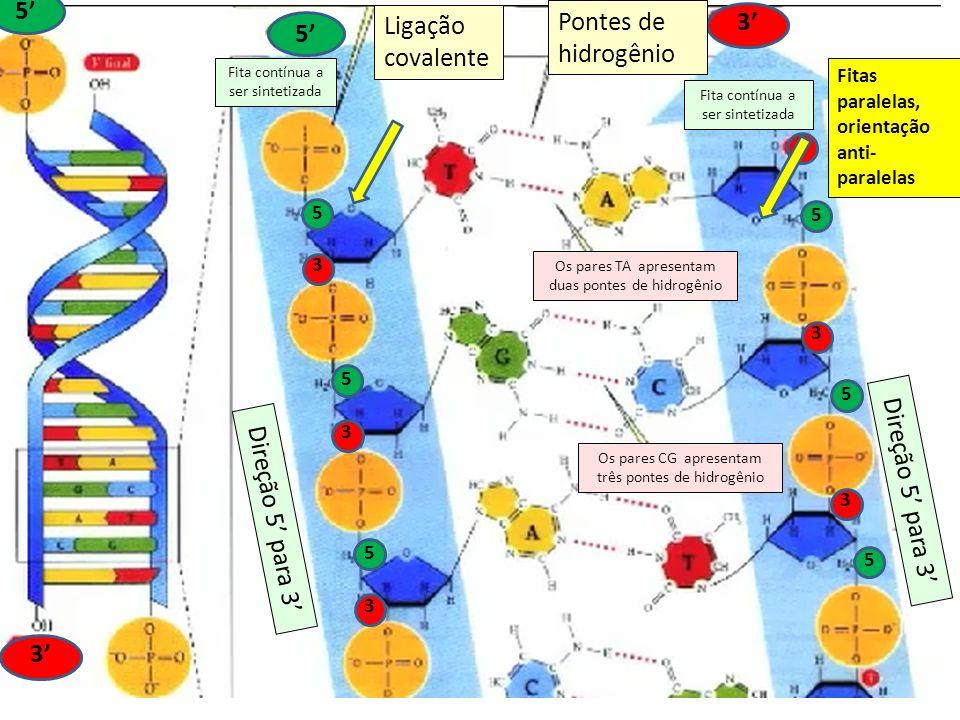 5 3 5 3 5 3 5 3 5 3 5 3 Ligação covalente Pontes de hidrogênio 5 3 Direção 5 para 3 5 3 Pontes de hidrogênio Os pares CG apresentam três pontes de hid