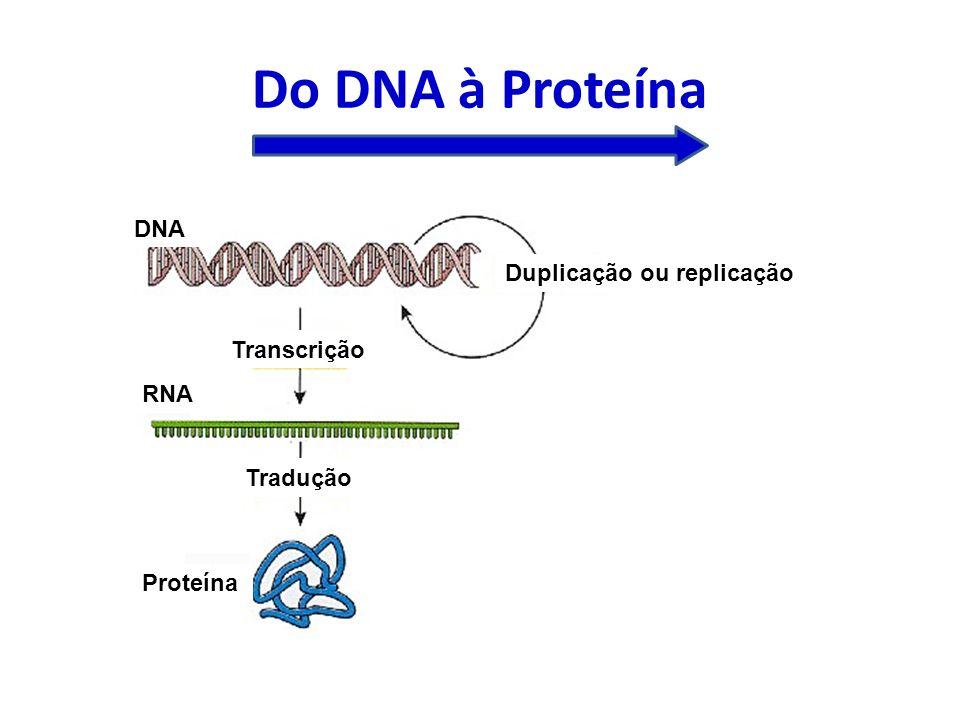 Do DNA à Proteína Duplicação ou replicação Transcrição Tradução DNA RNA Proteína