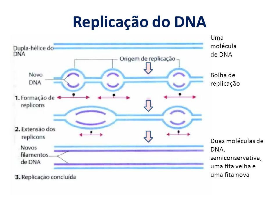 Replicação do DNA Uma molécula de DNA Duas moléculas de DNA, semiconservativa, uma fita velha e uma fita nova Bolha de replicação