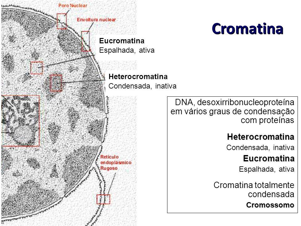 Cromatina Heterocromatina Condensada, inativa Eucromatina Espalhada, ativa DNA, desoxirribonucleoproteína em vários graus de condensação com proteínas
