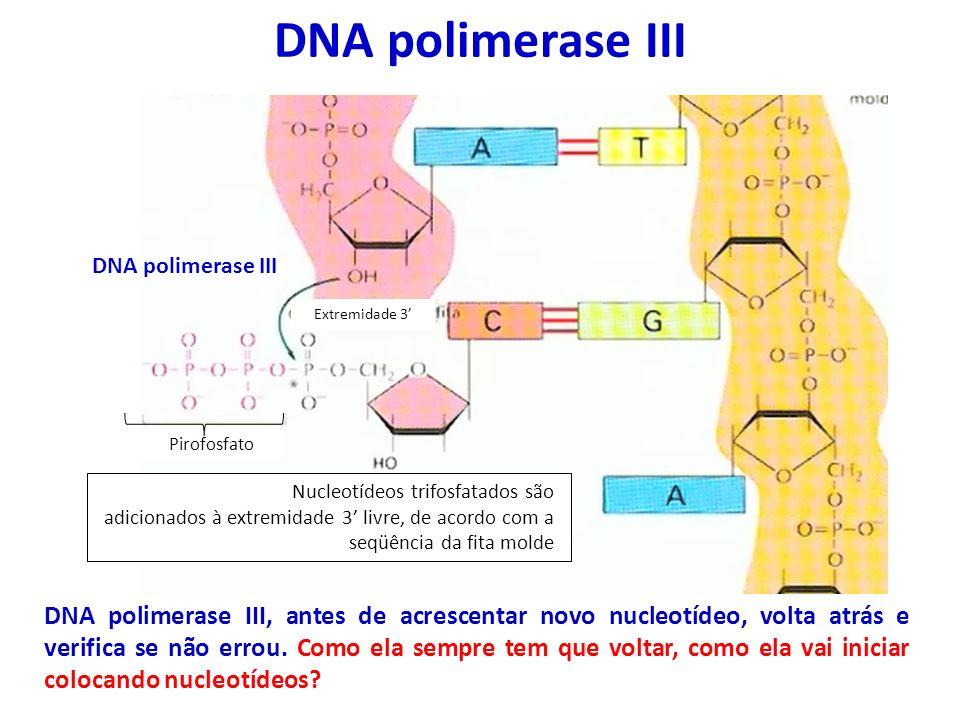 DNA polimerase III Extremidade 3 Nucleotídeos trifosfatados são adicionados à extremidade 3 livre, de acordo com a seqüência da fita molde DNA polimer