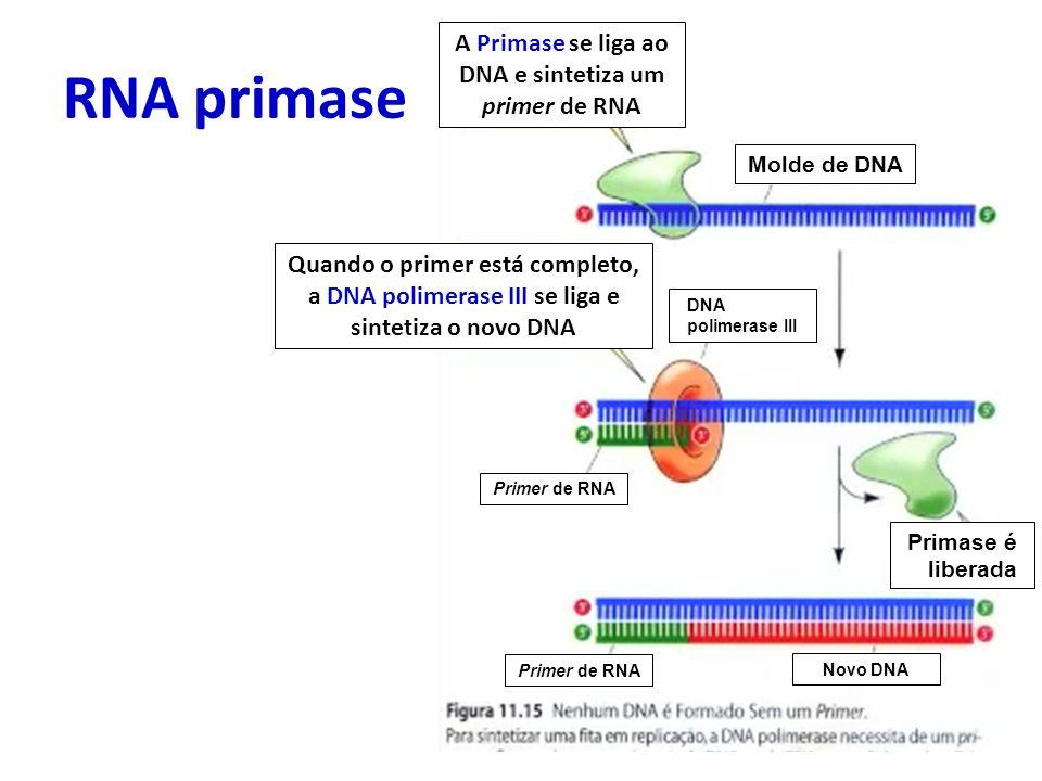 RNA primase Primase é liberada A Primase se liga ao DNA e sintetiza um primer de RNA Quando o primer está completo, a DNA polimerase III se liga e sin