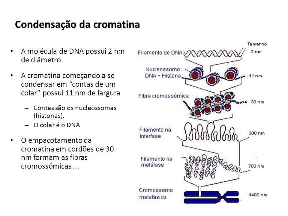Condensação da cromatina A molécula de DNA possui 2 nm de diâmetro A cromatina começando a se condensar em contas de um colar possui 11 nm de largura