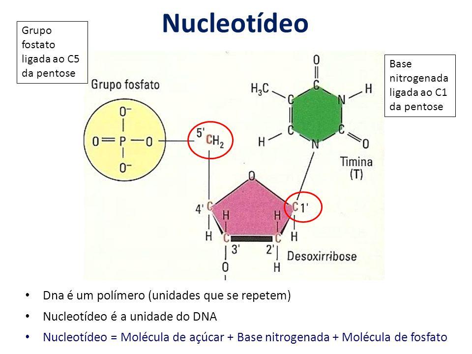Nucleotídeo Dna é um polímero (unidades que se repetem) Nucleotídeo é a unidade do DNA Nucleotídeo = Molécula de açúcar + Base nitrogenada + Molécula