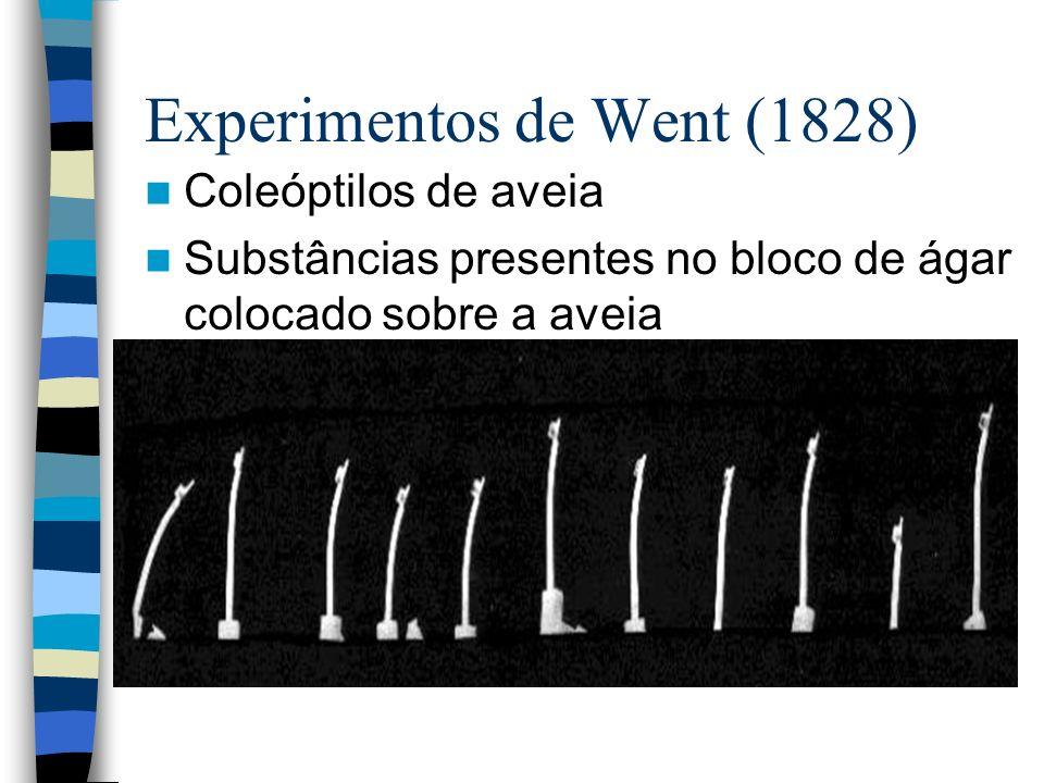 Experimentos de Went (1828) Coleóptilos de aveia Substâncias presentes no bloco de ágar colocado sobre a aveia