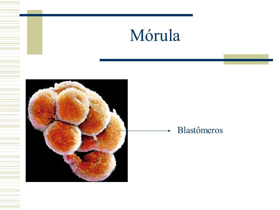 Mórula Blastômeros