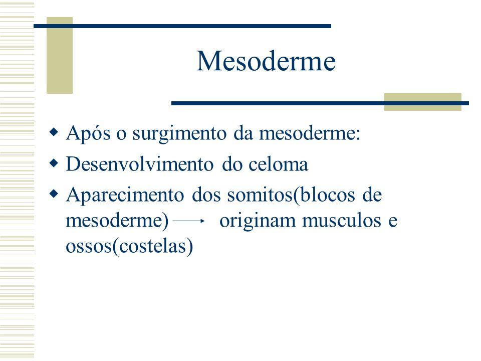 Mesoderme Após o surgimento da mesoderme: Desenvolvimento do celoma Aparecimento dos somitos(blocos de mesoderme) originam musculos e ossos(costelas)