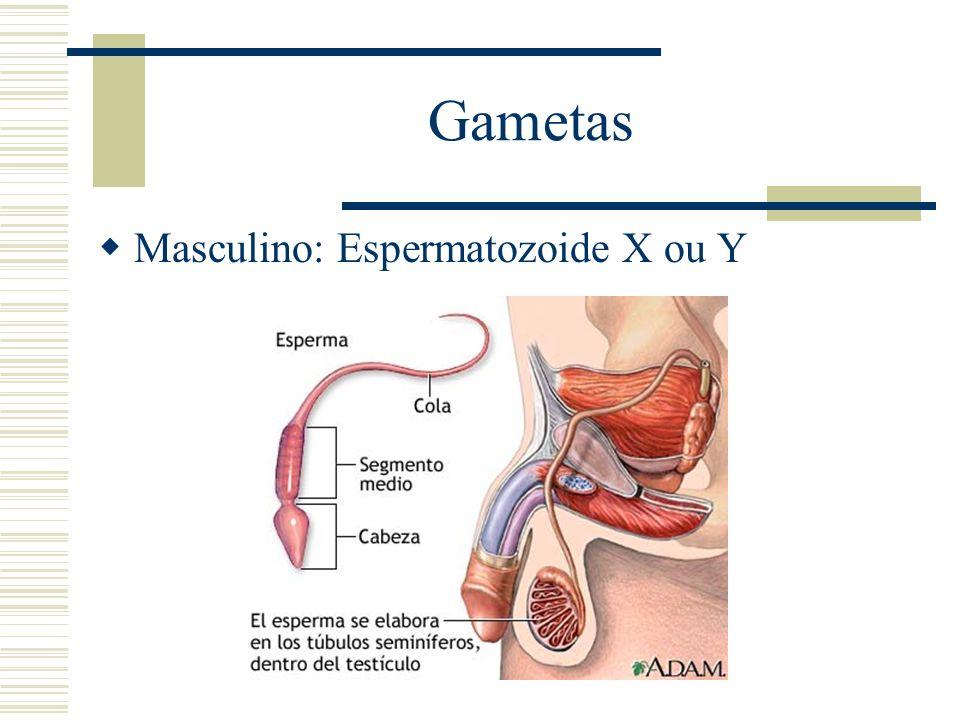 Gametas Masculino: Espermatozoide X ou Y
